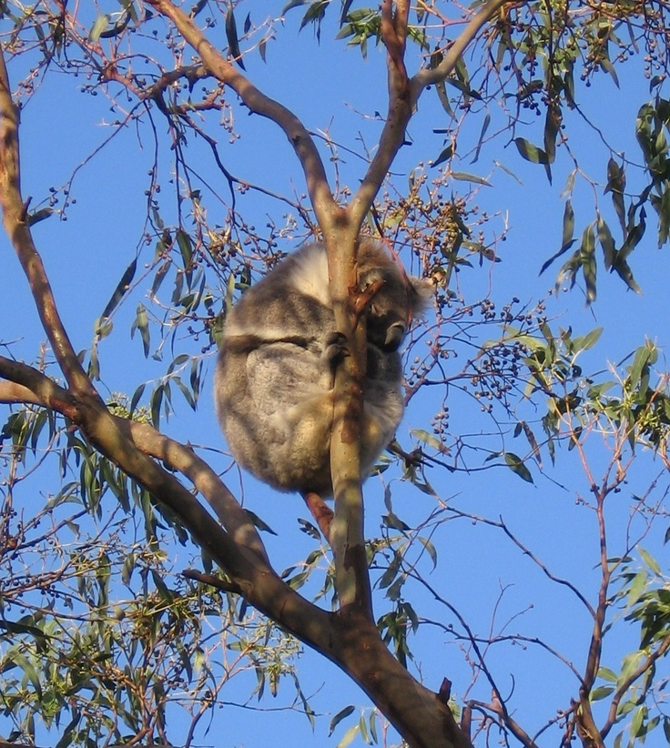 Cape Otway, Victoria, Australia. On the road in to the Cape Otway Lightstation, the trees are full of wild koalas. Fabulous.  This shot is one of my own.