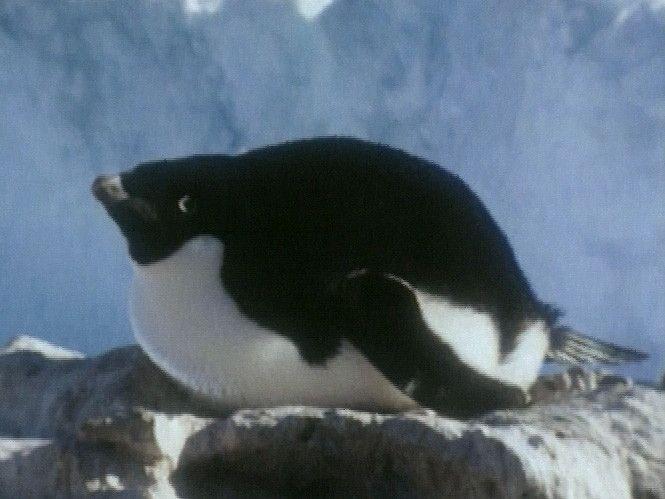 Na het leggen broeden de mannetjes de eieren uit. De ouders voeren de jongen met de inhoud van de keelzak. De ouders zorgen alleen voor hun eigen jongen. Tegen het eind van het broedseizoen ruien de jongen. Ze verliezen hun donsveren en gaan als volwassen vogels naar zee.