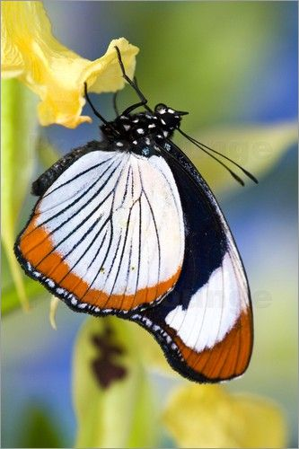 The Red Spot Diadem is found along the coast of Kenya and in Tanzania from the coast inland to the Usambara Mountains. Its habitat is mainly coastal forests. | #butterfly