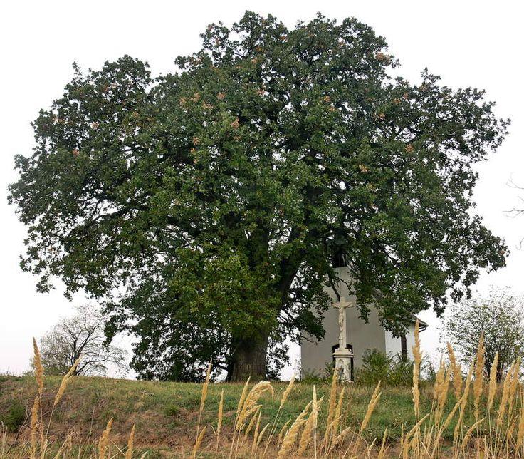 A település 300-400 évesre becsült fája, egy molyhos tölgy nyerte el az év fája címet......A cikk még folytatódik, kattints a részletekért, vagy oszd meg, ha tetszik!