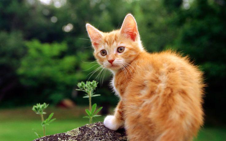 taustakuva raidallinen, kissanpentu, katsoa, ruoho, kissa, eläimet