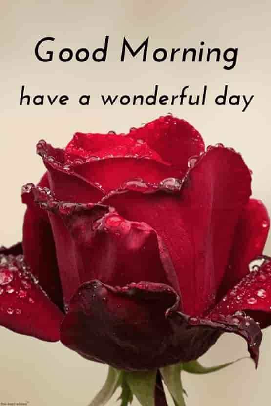 Good Morning Hd With Dew On Red Rose Good Morning Wishes Good
