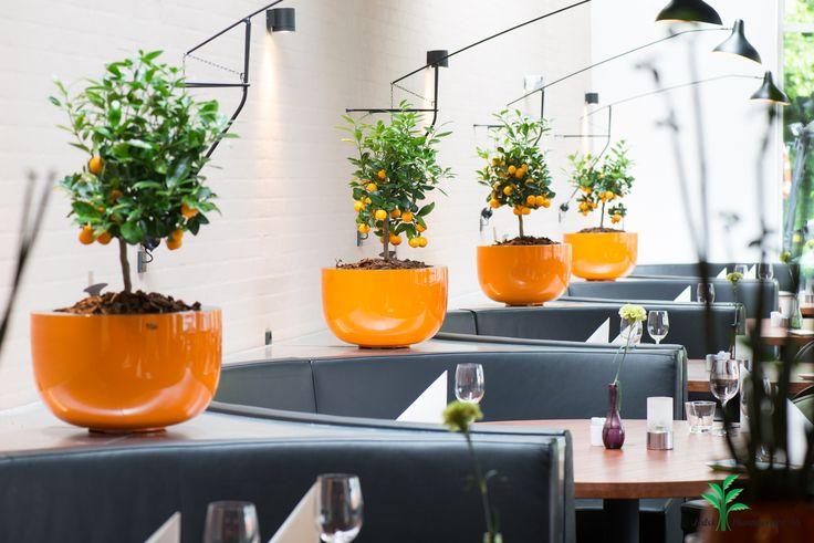 Indretning af restaurant. Orange kummer med Citrus calamondin.
