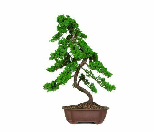 Brussel's Green Mound Juniper Bonsai by Brussel's Bonsai. $167.87. Evergreen favorite. Supplied by America's largest bonsai nursery. 15 Years old; 30 inches tall. Features curved trunks and well position branches. Juniperus procumbens 'Nana'. The natural movement of this tree's trunk and branches capture the essence of bonsai, making Green Mound the most used juniper variety. The texture of the Green Mound Juniper's foliage and the ease of trimming make this outdoor bonsai a ...