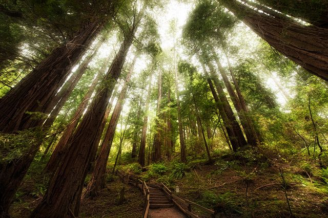 Muir WoodsForests, San Francisco California, Pacific Crest Trail, Beautiful Places, Trees, Earth Day, Muir Woods, Muirwood, Canopies