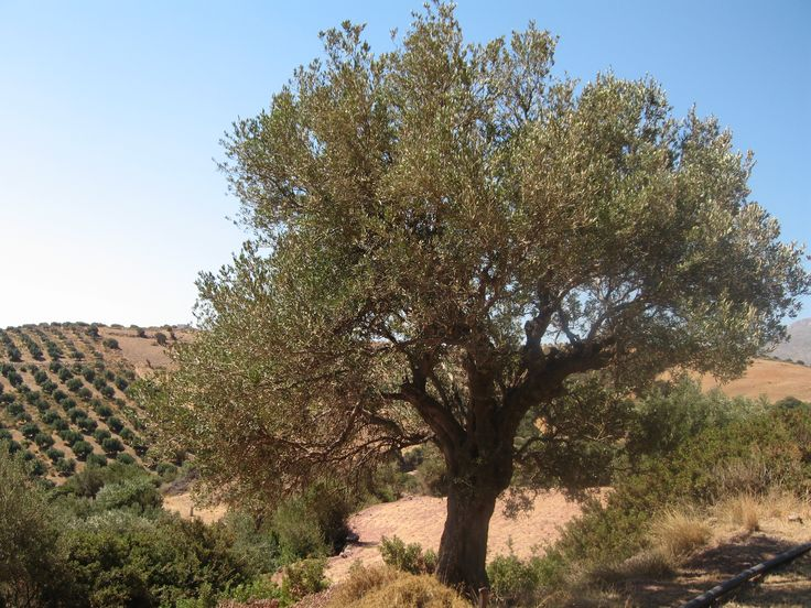 Olive Tree on the rugged hills of Mani , Greece .