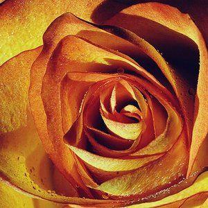 Rose @ Loustrakos'