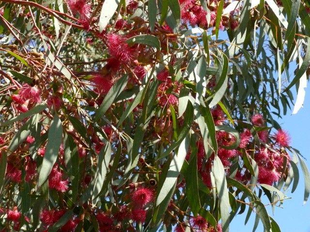 Eucalyptus Euky Dwarf --- For more Australian native plants visit austraflora.com