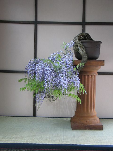 """zong1:  """" Old Wisteria Cascade Bonsai in Spring by Brooklyn Botanic Garden on Flickr.  """""""