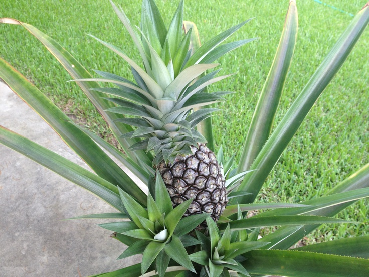17 best images about plants on pinterest popular grow for How to plant a pineapple top in a pot