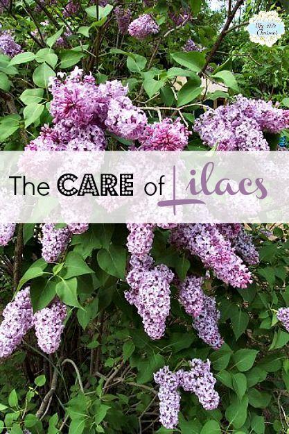 My 1929 Charmer | Master Gardener Series: Time To Prune Lilacs | http://my1929charmer.com