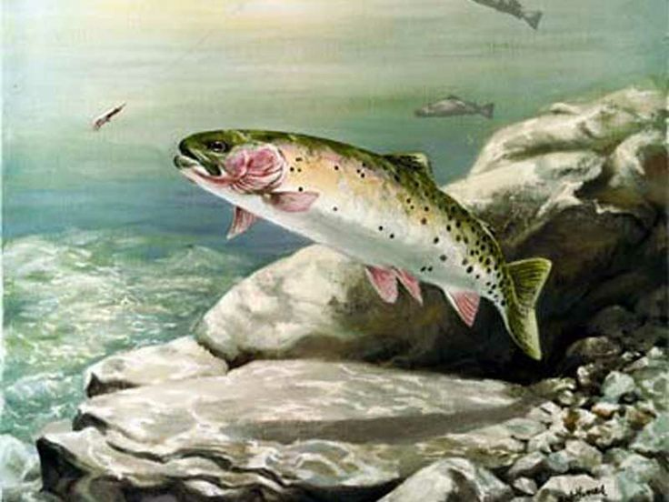 469 best images about fish art trout salmon on for Colorado fish species