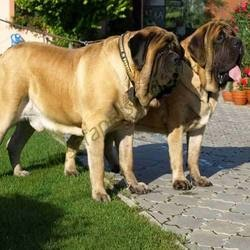 English Mastiff ~ awesome! Fielding would hate me...... :) :)