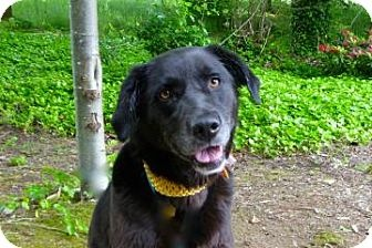 Bellevue, WA. Meet beautiful LEAH, a 5-yo Lab Retriever mix who playful and fun. Her lovely black and brown coat is accentuated with specks of white and four white paws.  Shes an active girl who would love long walks, a jogging partner and hikes in the woods. Leah has non-stop smiles and happy tail wags! ID #: 5711154-A19944286.  Seattle Humane Society, (425) 641-0080 or adoptions@seattlehumane.org.  Website:	 http://www.seattlehumane.org