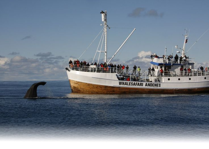 Book a winter whale safari in Vesterålen, Northern Norway!