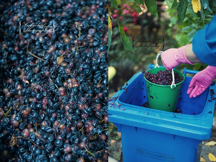 grapes photography - Traditional wine making process