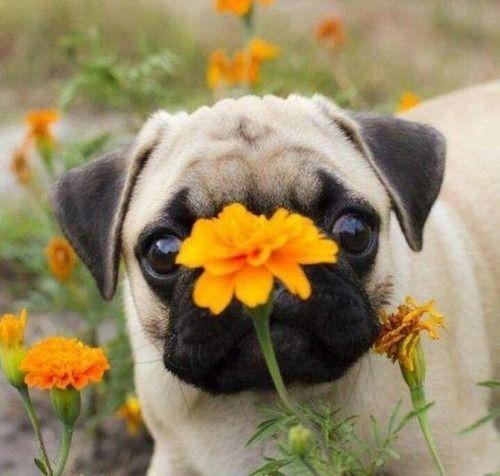 Pug cutie/ #orange