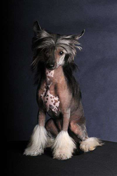 Chinese Crested Dog - Barchetta Pastoral, Female hairless