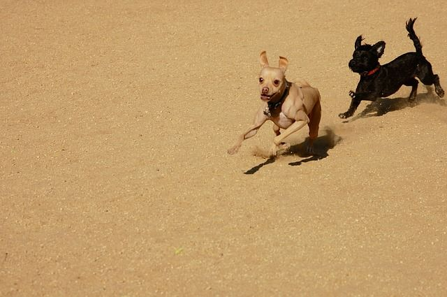 Free Image On Pixabay Dogs Play Chase Sandy Pursuit Dogs