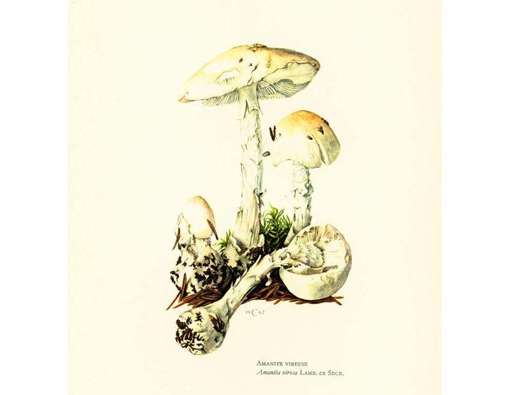 1962 Amanite Vireuse Planche Originale Identification Champignons Toxiques Vénéneux Illustrations Dessin Mycologie de la boutique sofrenchvintage sur Etsy