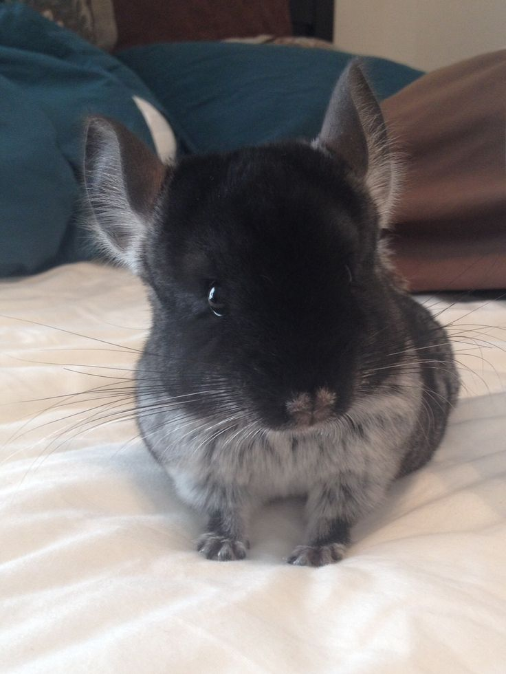 Cute black velvet chinchilla! | chinchilla | Pinterest