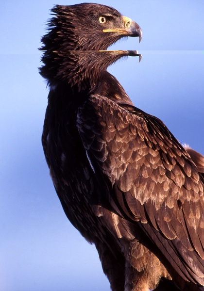 African Grassland Birds A Tawny Eagle, this ra...