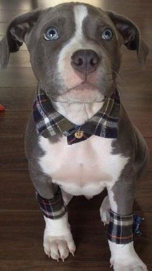 Adorable idea, plaid shirt accessories on a Pitbull Pup