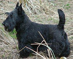 ScottishTerrier                                                                                                                                                                                 Plus