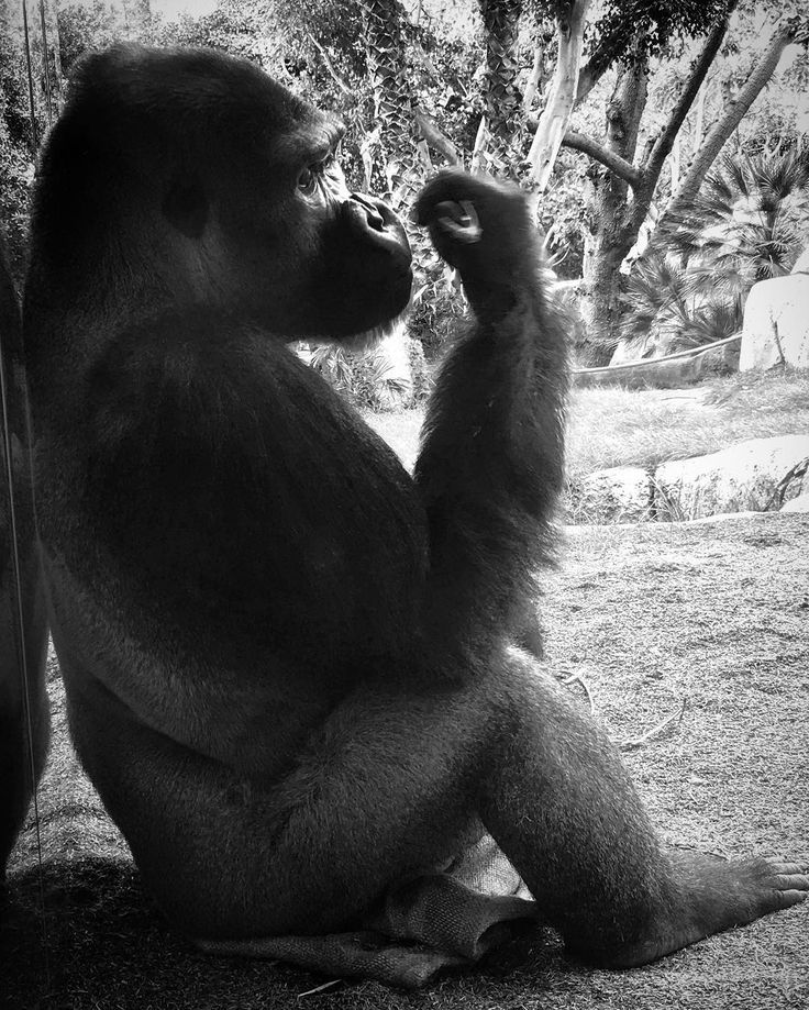 Let me think about it... #gorilla at the #sandiegozoo #sandiego #zoo #balboapark #balboa #park #usa -- captured in #blackandwhite #blacknwhite #bnw with #iphone6s #iphonephotography