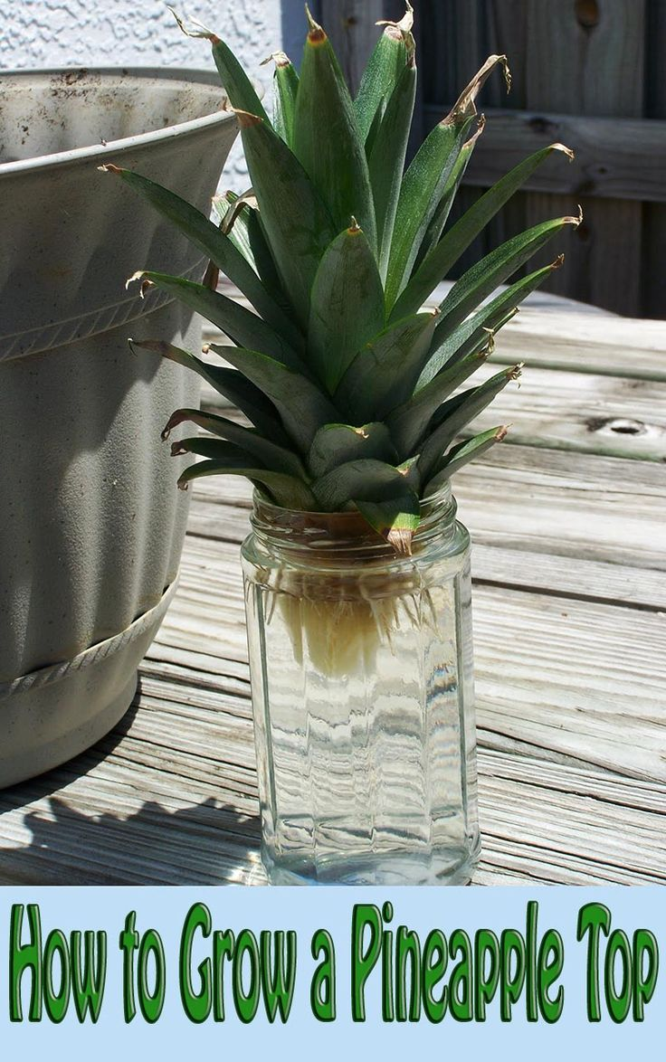 Rooting and growing pineapple tops is easy. Did you know that the leafy top of store-bought pineapples can be rooted and grown as an interesting houseplant? #gardening