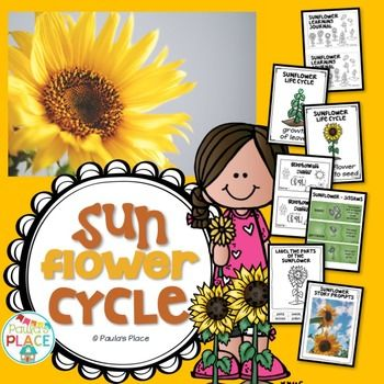 Sunflower Life Cycle. Explore the sun flower cycle through photos, interactive pages and posters.