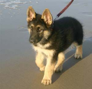 German Shepherd puppy on the beach. It doesn't get any more wonderful. Why? They love you like no other person ever existed in their world.