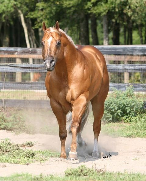 Beautiful old style Quarter Horse, the bulldog look from the 60s...love that look! Nowadays, there's so much Thoroughbred in them, they too long and tall for my taste.