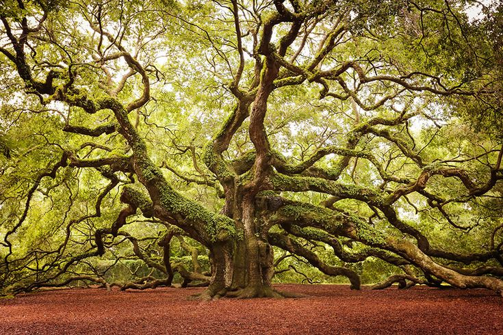 17 des plus beaux arbres du monde. L'histoire du #13 va vous faire rêver ! Chêne Ange de John Island, en Caroline du Sud