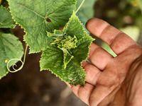 Okurková sezóna: jak zalévat, hnojit a jak ochránit úrodu proti plísni?