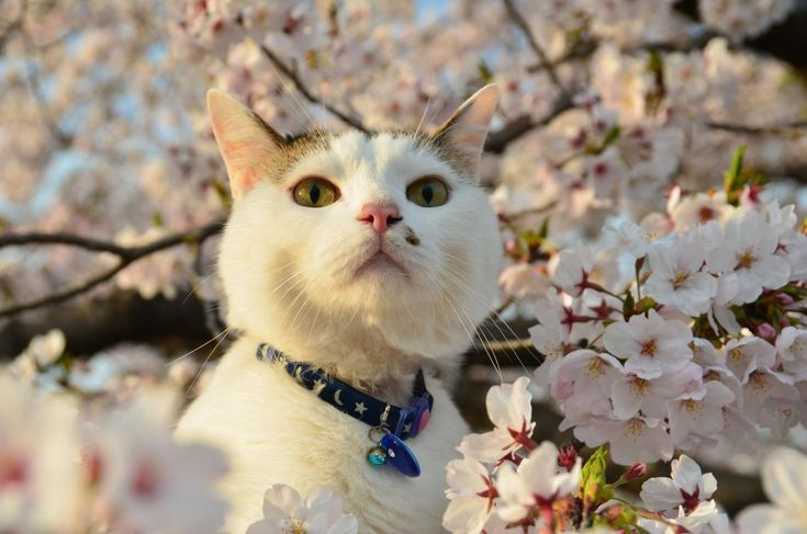 50 adorable cats with cherry blossoms: too cute to be real   tsunagu Japan