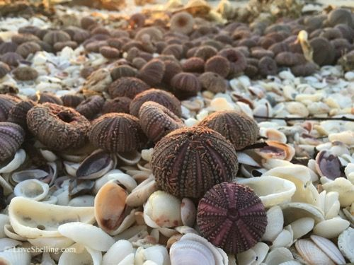 Sea urchins by the hundreds on Sanibel Island, Florida