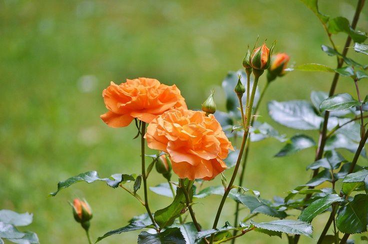 2 soiuri de trandafiri pitici ce pot fi plantaţi chiar şi pe balcon