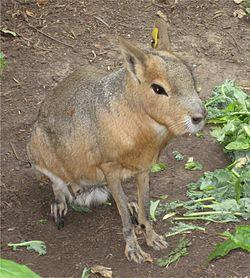 Mara (mammal) - It's a dear-dog rabbit!