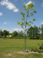 Arboretum Hoogvliet - Home - - Carya illinoinensis