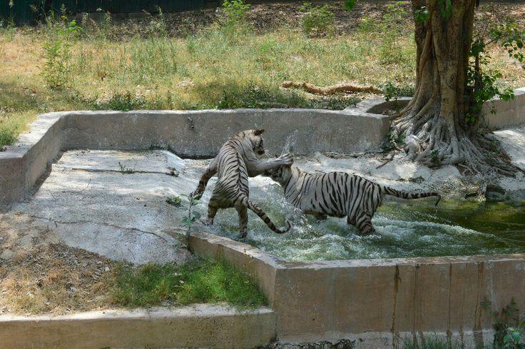 Tiger's fight