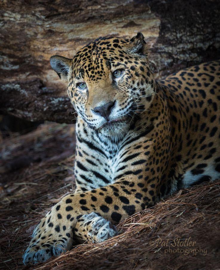 Jaguar - cool, calm & collected - beautiful