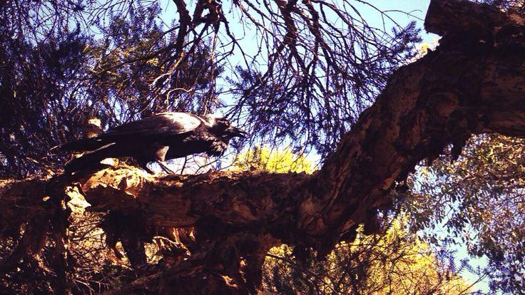 Black Crows Whiteman Park WA