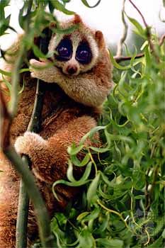 Slow Loris ~ I really need about 5 good reasons why I shouldn't have one of these!