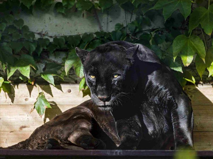 one of three jaguar cubs born in may within an endangered species conservation programme is pictured at the reino zoo in teotihuacan, mexico | animal . sleeping jaguar baby and mummy. black panther wallpapers pictures 9 | black panther wallpapers image . jaguar animal running. jaguar: animals...