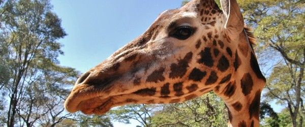 A place you shouldn't miss: the Giraffe Centre http://blog.100days.it/giraffe-nairobi/