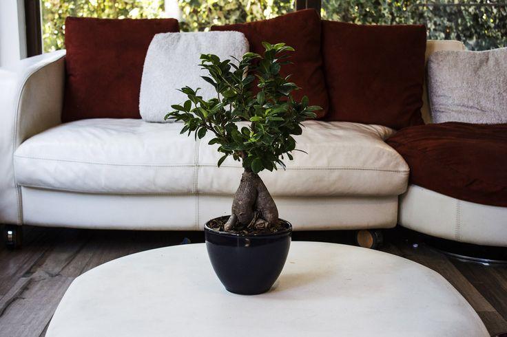 Bonsai Ficus Ginseng in vaso di ceramica nero