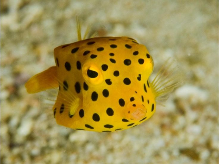 The cube-shaped boxfish is just as cute as it is strange. Most species of these small saltwater fish rarely grow larger than a few inches, making them favorites for private aquarium collections. You