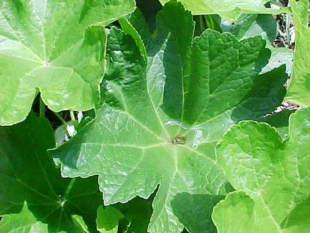 Darmera peltata..........sounds good for my shade