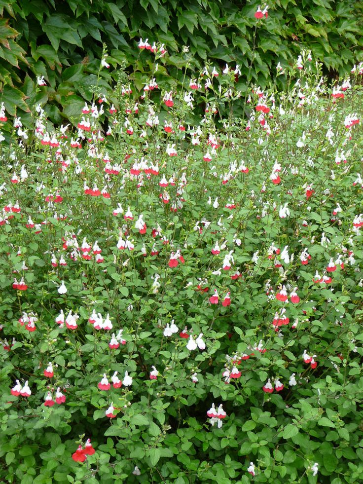 Sauge salvia microphylla 39 hot lips 39 labiac es jardin for Fleurs express